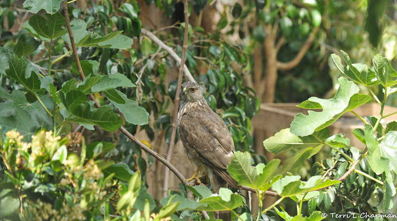 A juvenile Cooper's Hawk perched in my Fig Tree