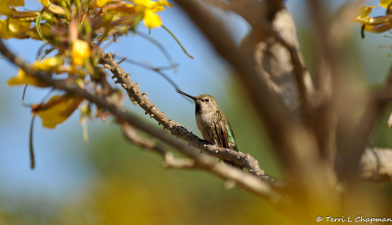 """An Anna's Hummingbird perched in a """"Mouse Trap Tree"""" from Madagascar"""