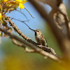 "An Anna's Hummingbird perched in a ""Mouse Trap Tree"" from Madagascar"