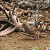 A fledgling California Towhee