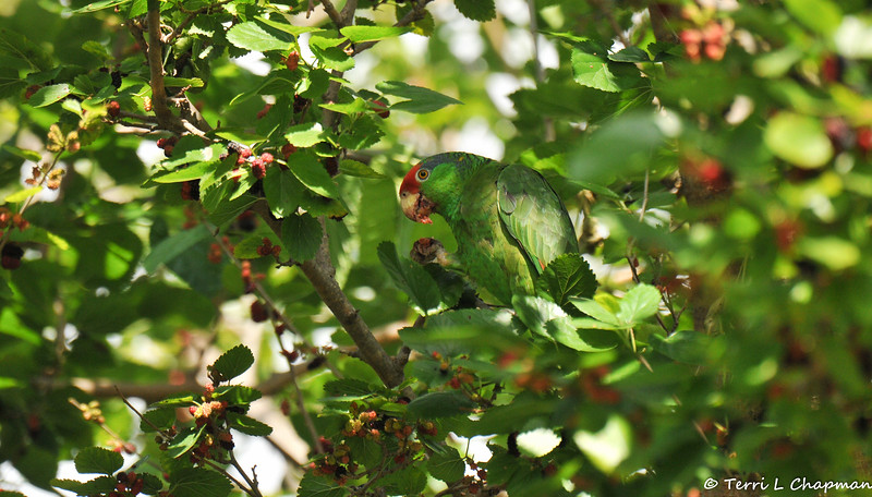 A wild Red-crowned Parrot eating ripe Mulberries in a Mulberry tree