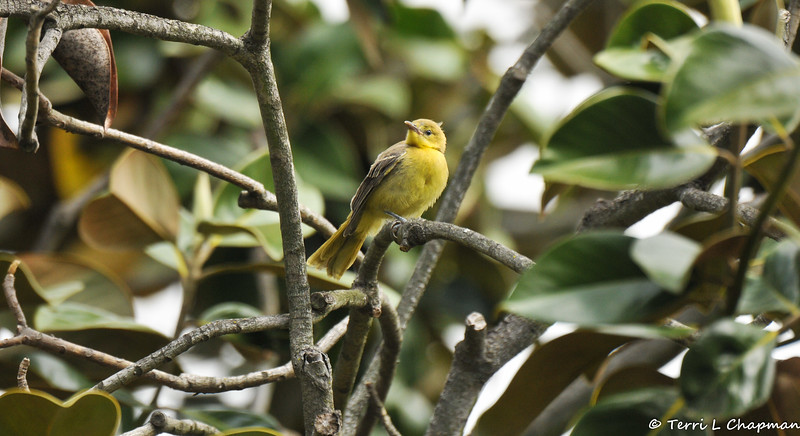 A fledgling Hooded Oriole in a Magnolia tree