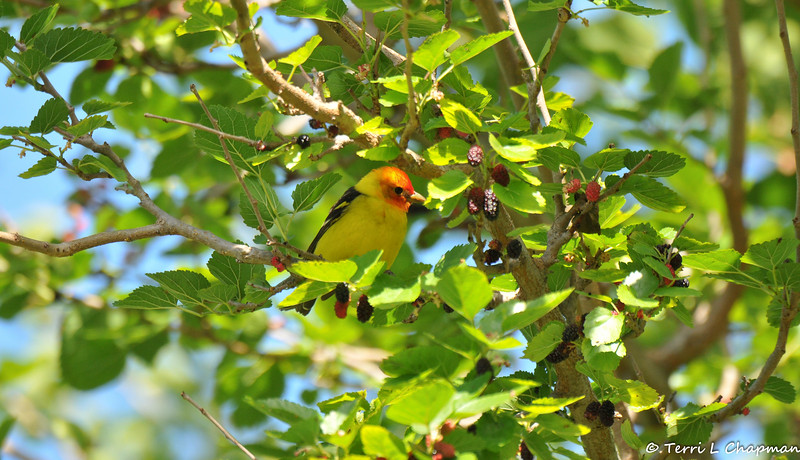 A male Western Tanager perched in a Mulberry tree
