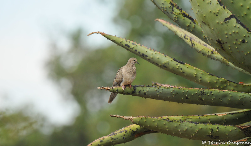 A fledgling Mourning Dove