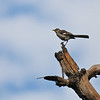 A juvenile Northern Mockingbird posing on a jagged tree stump against a cloudy sky