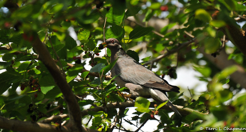 A Band-tailed Pigeon eating a ripe Mulberry in a Mulberry tree