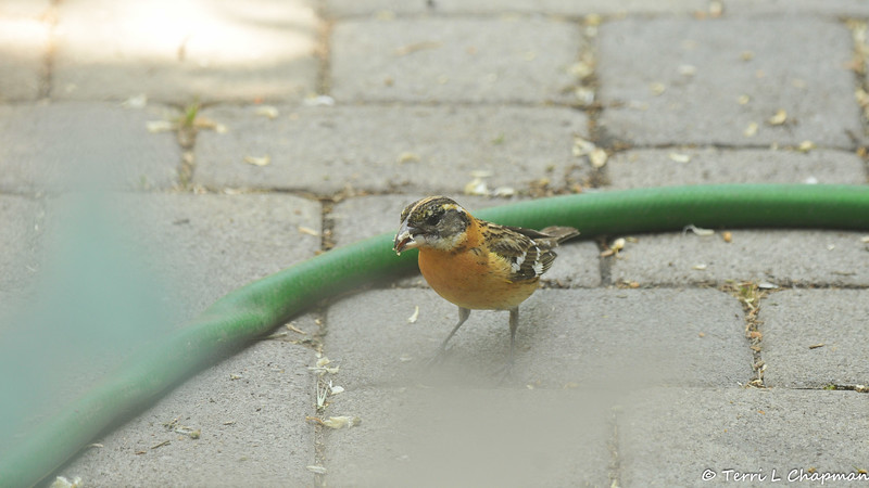 A female Black-headed Grosbeak eating sunflowers on my back patio. I shot this image through my back door.