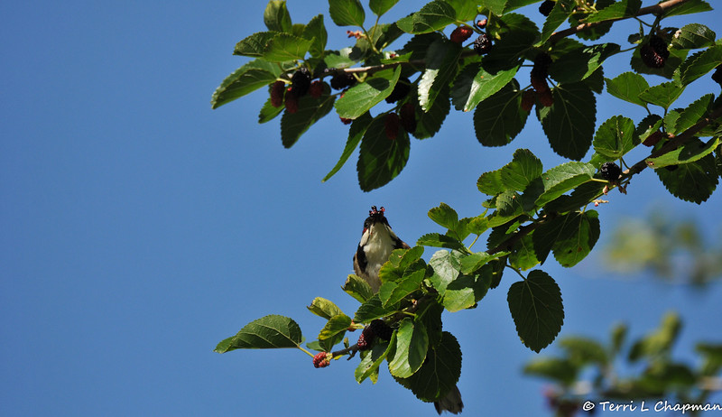 A Red-whiskered Bulbul eating a ripe Mulberry
