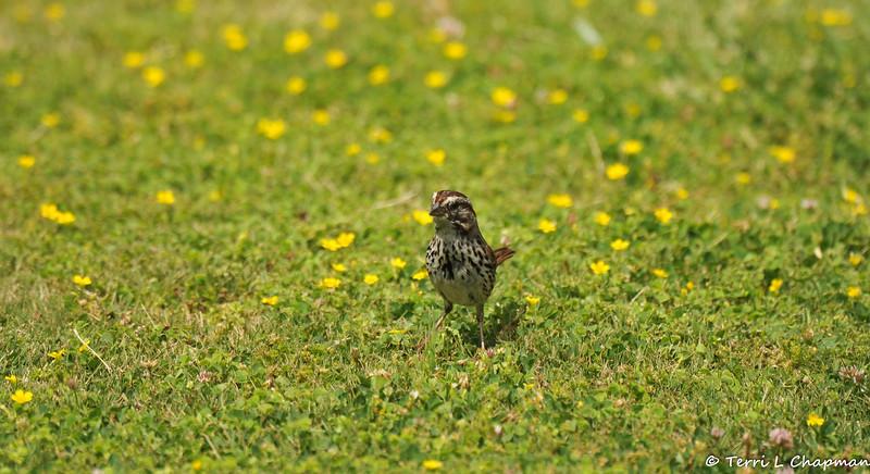 A Song Sparrow