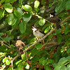 A hungry fledgling Red-whiskered Bulbul with its two parents in a Mulberry tree