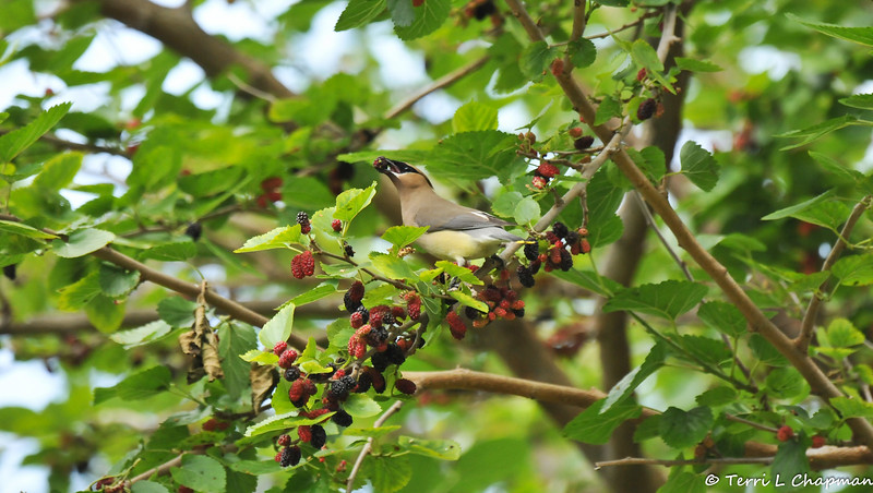 A Cedar Waxwing eating a ripe Mulberry in a Mulberry tree