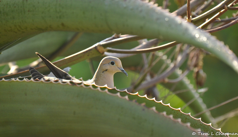 A Mourning Dove sitting on a nest in a Aloe plant