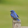 A beautiful male Western Bluebird perched on a bench