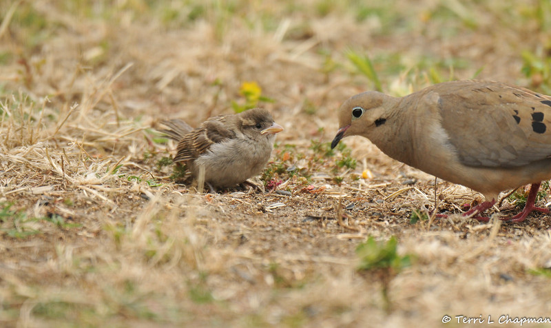A fledgling House Sparrow coming into contact with a Mourning Dove, that was peeking at the seed on the ground. This sparrow was afraid of the dove and hopped quickly away!