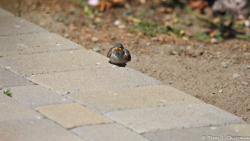A fledgling House Sparrow perched on my walkway