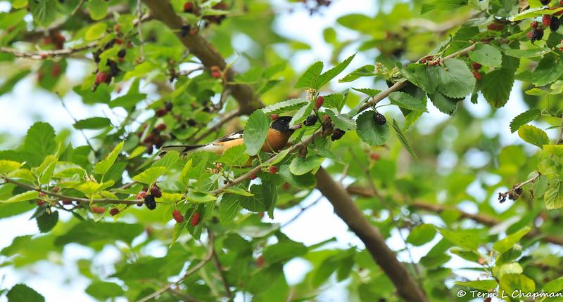 A male Black-headed Grosbeak eating ripe Mulberries in a Mulberry tree
