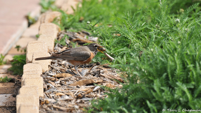 An American Robin eating a large grub