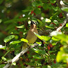 A Cedar Waxwing perched in a Mulberry tree