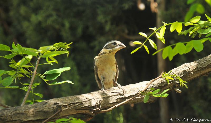 An immature female Black-headed Grosbeak