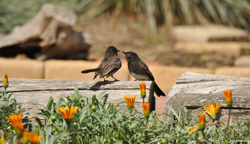 A fledgling Black Phoebe being attended to by one of its parents