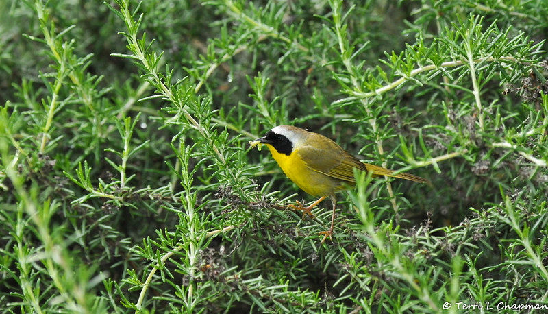 A male Common Yellowthroat warbler with a caterpillar in its bill. His hungry offspring were hidden in the Rosemary bush.
