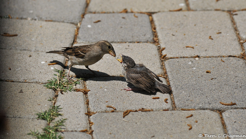 A female House Sparrow feeding one of her fledglings. I provided the mother with dried meal worms and she eagerly fed them to her baby.