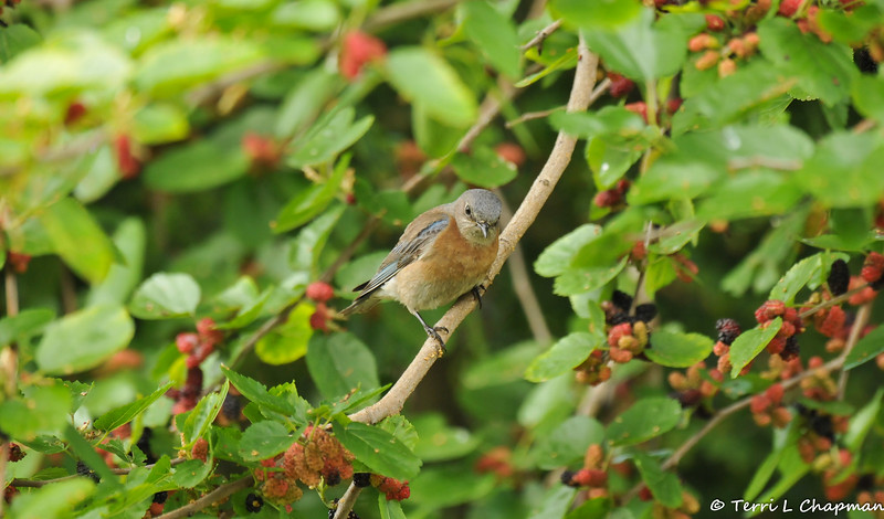 A female Western Bluebird perched in a Mulberry tree