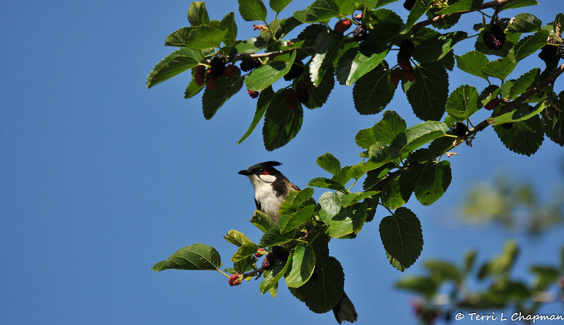 A Red-whiskered Bulbul with a tiny piece of Mulberry on its head