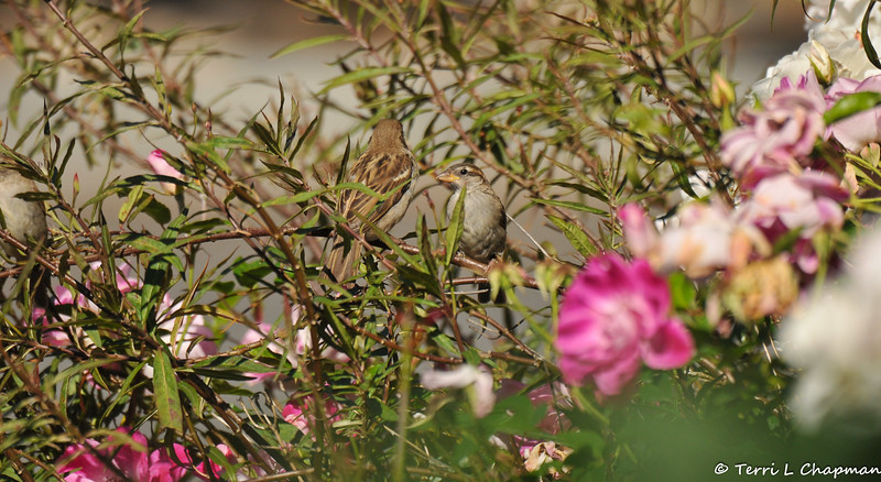 Two female House Sparrows perched on a Milkweed plant in my front yard