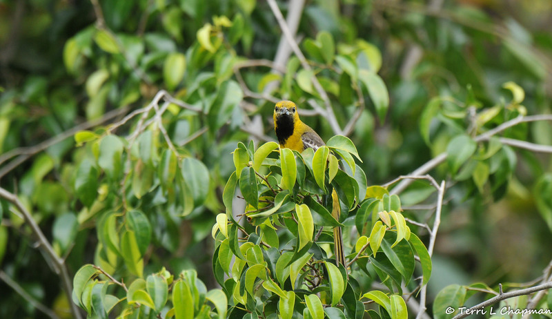 A male Hooded Oriole in a Ficus tree