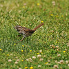 A Song Sparrow hopping on a lawn