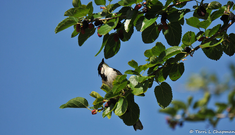 A Red-whiskered Bulbul in a Mulberry tree