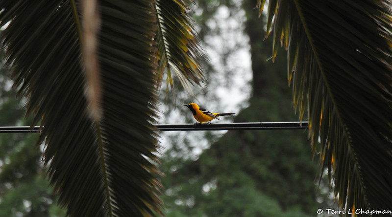 A male Hooded Oriole