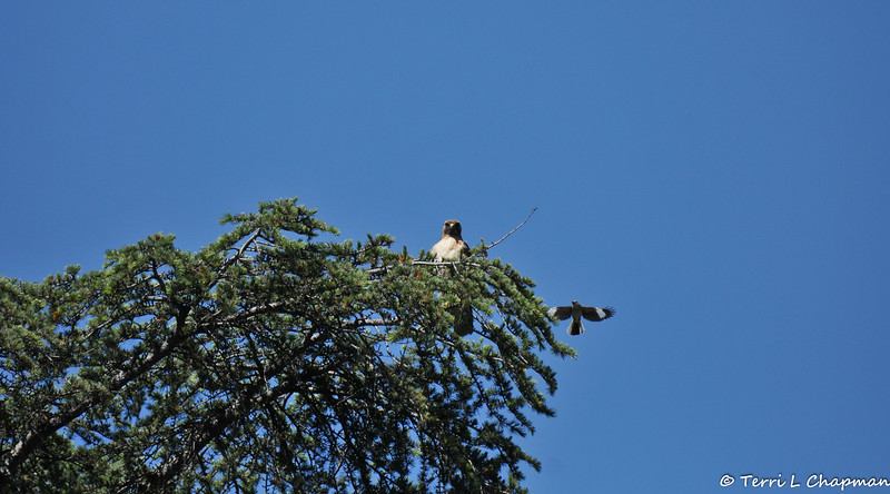 After this Red-tailed Hawk had eaten the sparrow it had caught, this Northern Mockingbird began dive bombing the hawk to try and get it out of the tree. I am sure there was a mockingbird nest close by.
