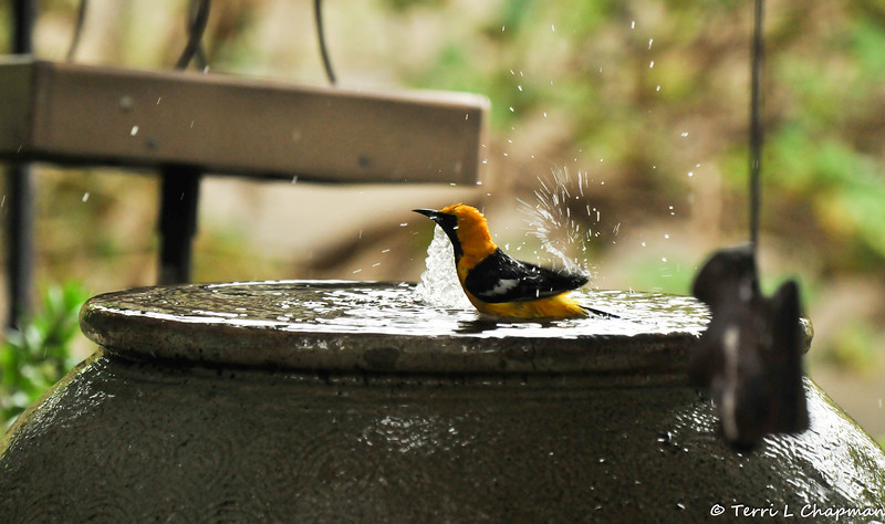 A male Hooded Oriole taking a bath in my water fountain.