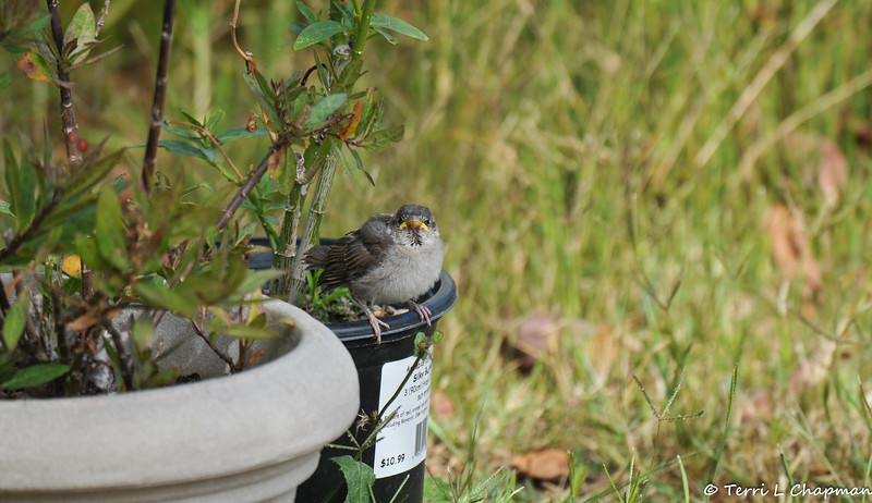 A fledgling House Sparrow perched on a pot of Milkweed