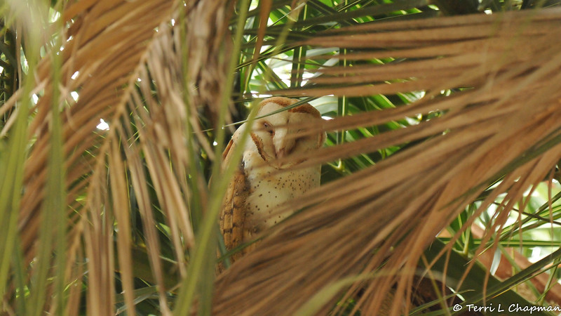 A female Barn Owl in a Palm Tree. Her 5 owlets were in the next Palm Tree.