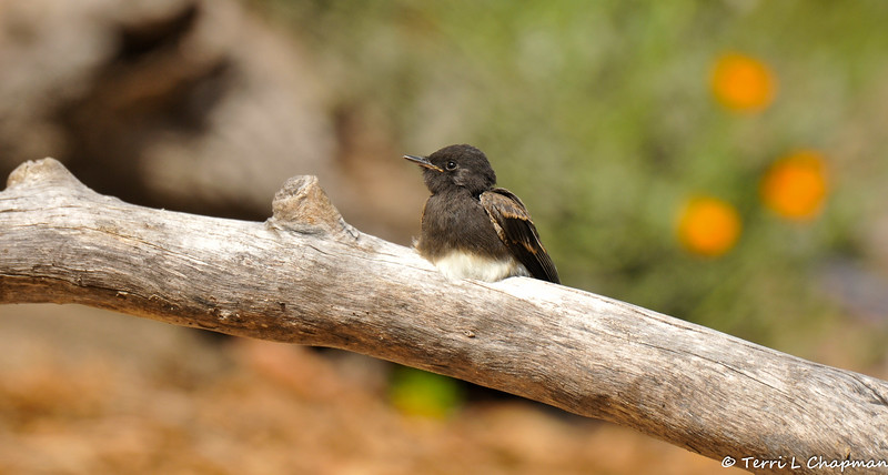 A fledgling Black Phoebe waiting for one of its parent to return with food