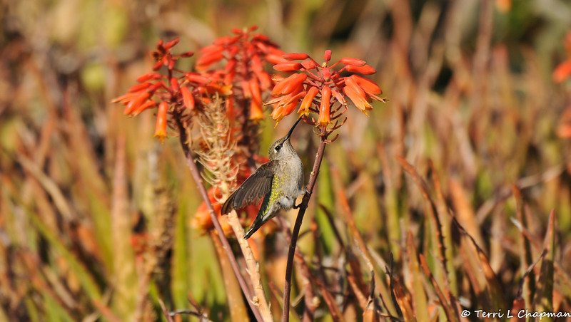 "A female Anna's Hummingbird sipping nectar from ""Little Red Riding Hood"" Aloe."