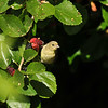 A female Lesser Goldfinch in a Mulberry tree