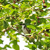 A Red-whiskered Bulbul eating a ripe Mulberry in a Mulberry tree