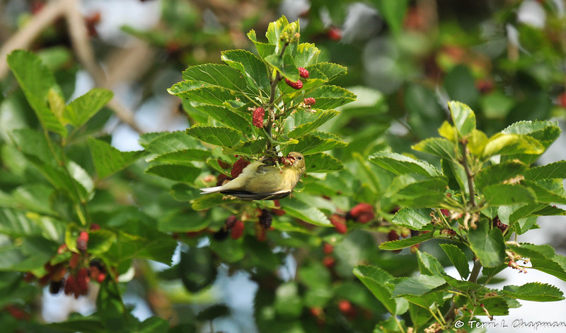 A female Lesser Goldfinch eating a ripe Mulberry