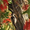 A female Nuttall's Woodpecker looking for insects in the trunk of the Bottlebrush tree