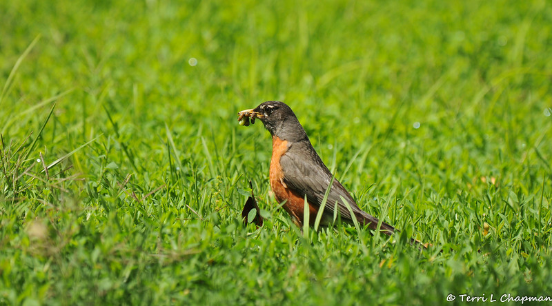 An American Robin with a bill full of worms for its hungry offspring