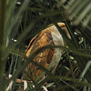 A side profile of a beautiful female Barn Owl sleeping in a Palm Tree. Her 5 owlets were in the next Palm Tree.