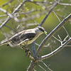 A Northern Mockingbird with worms in its bill to feed its nearby offspring