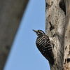 A female Nuttall's Woodpecker looking for insects in the trunk of the Avocado tree