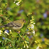 A female Lesser Goldfinch eating flower seeds
