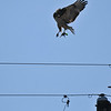 This adult Red-tailed Hawk had snatched a sparrow from a nearby Avocado tree and went to the top of a telephone pole to eat it. But, two crows had followed the hawk and began to drive bomb it. The Red-tailed Hawk took flight and this is one image, of seven presented, of the hawk defending itself. The hawk did fly into a nearby tree to eat the sparrow, and then a Northern Mockingbird began to drive bomb it, which are the next series of images.