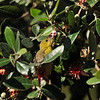 A fledgling Hooded Oriole eating the blooms from the Guava tree